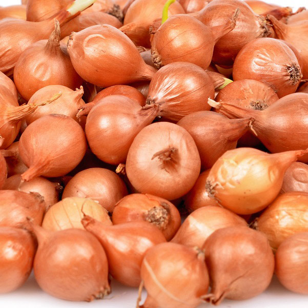 bulbe potager oignon biztro ets perriol jeudy carre de jardin