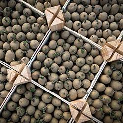 pomme de terre emballages plants germees