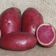 semence pomme de terre rouge de bourgogne highland burgundy red